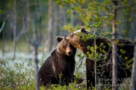 Photographier l'ours