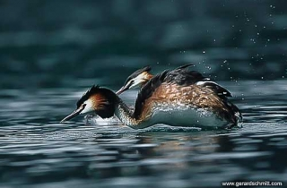 LM01-Grebe huppe (Podiceps cristatus - Great Crested Grebe )