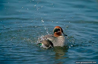 LM16-Sarcelle d'hiver(Anas crecca-Eurasian Teal)