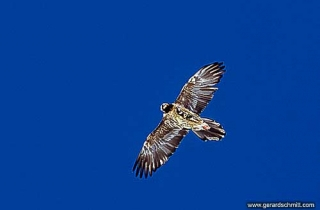 FM06--Gypaète barbu(Gypaetus barbatus-Bearded Vulture)