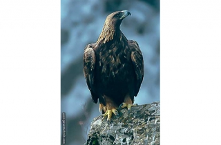 FM15-Aigle royal(Aquila chrysaetos)