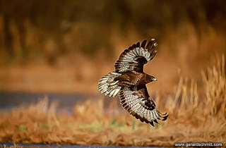 PS01-Buse variable(Buteo buteo-Common Buzzard)