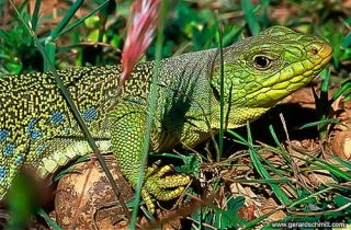 PS09-Lézard ocellé(lacerta lepida-Ocellated lizard)