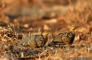 PS15-Ganga cata(Pterocles alchata-Pin-tailed Sandgrouse)