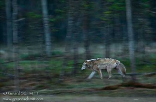 M07-Loup gris(Canis lupus)