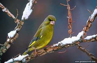 OF04-Verdier d'Europe(Carduelis chloris-European Greenfinch)