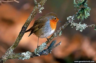 OF06-Rougegorge familier(Erithacus rubecula-European Robin)