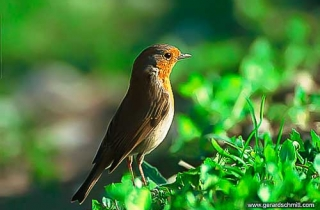 OF09-Rougegorge familier(Erithacus rubecula-European Robin)
