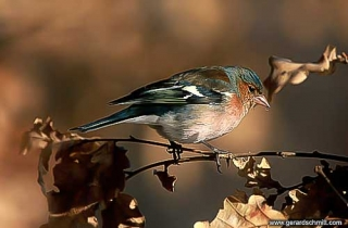 OF14-Pinson des arbres(Fringilla coelebs-Common Chaffinch)