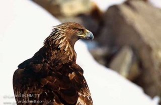 R02-Aigle royal(Aquila chrysaetos)