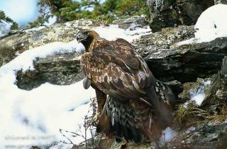 R03-Aigle royal(Aquila chrysaetos)