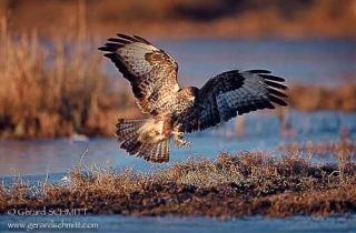 R16-Buse variable(Buteo buteo-Common Buzzard)