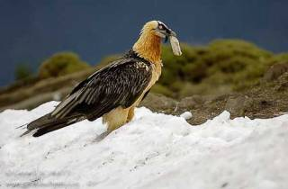 R38-Gypaète barbu(Gypaetus barbatus-Bearded Vulture)