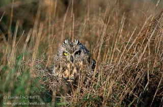 R40-(Asio flammeus-Short-eared Owl)