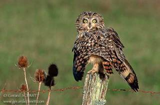 R41-(Asio flammeus-Short-eared Owl)