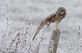 R42-(Asio flammeus-Short-eared Owl)
