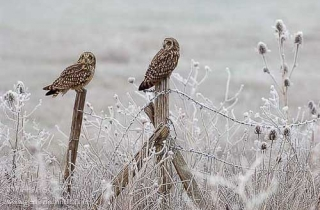 R43-(Asio flammeus-Short-eared Owl)