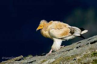 R48-Vautour percnoptère(Neophron percnopterus-Egyptian Vulture)gg