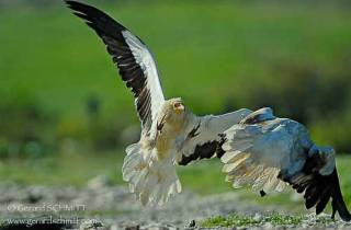 R49-Vautour percnoptère(Neophron percnopterus-Egyptian Vulture)