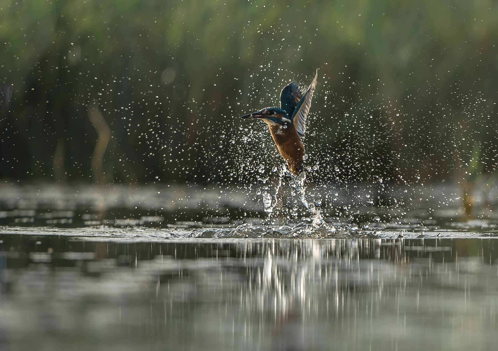 Martin-pêcheur d'Europe(Alcedo atthis - Common Kingfisher )