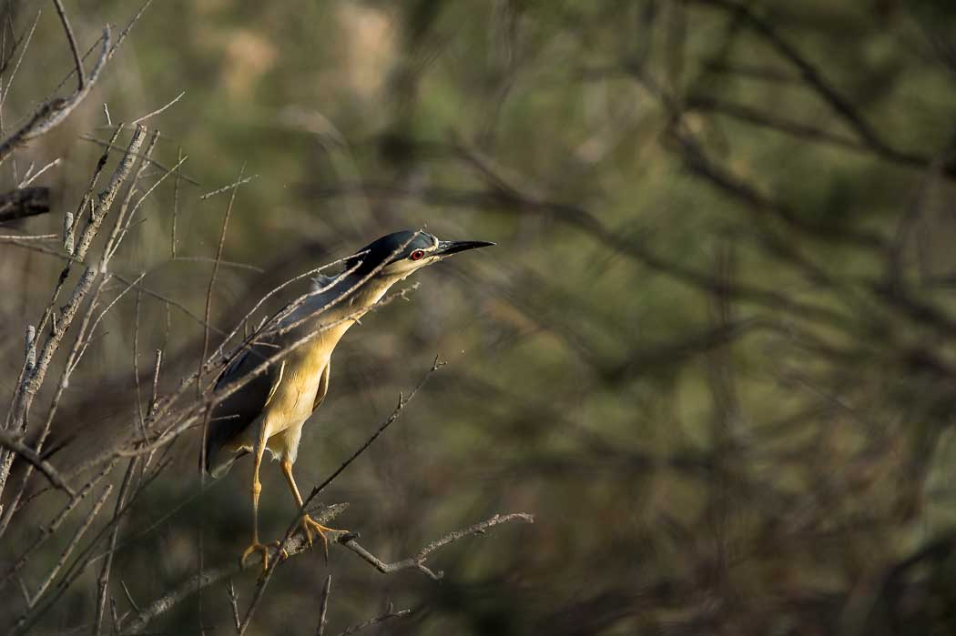 Bihoreau gris ( Nycticorax nycticorax - Black-crowned Night Heron)