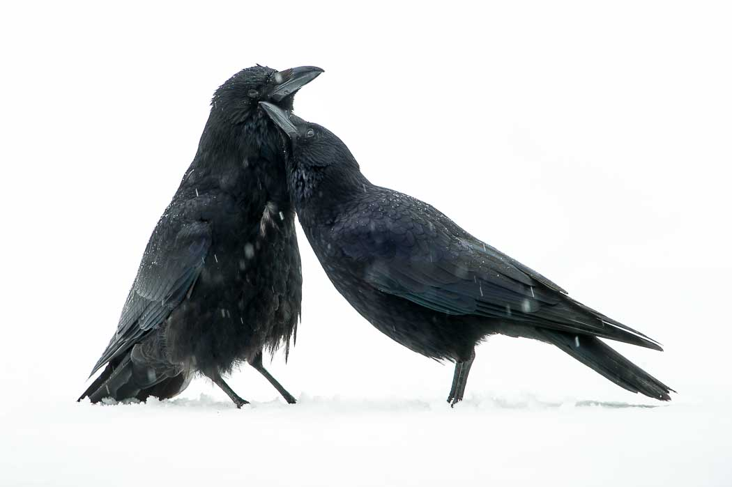 Corneille noire ( Corvus corone-Carrion Crow )